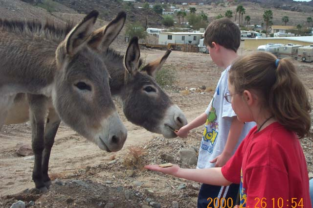 Wild burros enjoyed Triscuits near Parker Dam, California.