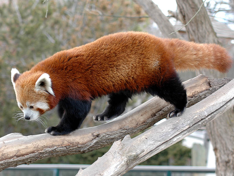 Red Panda, photo by Dan