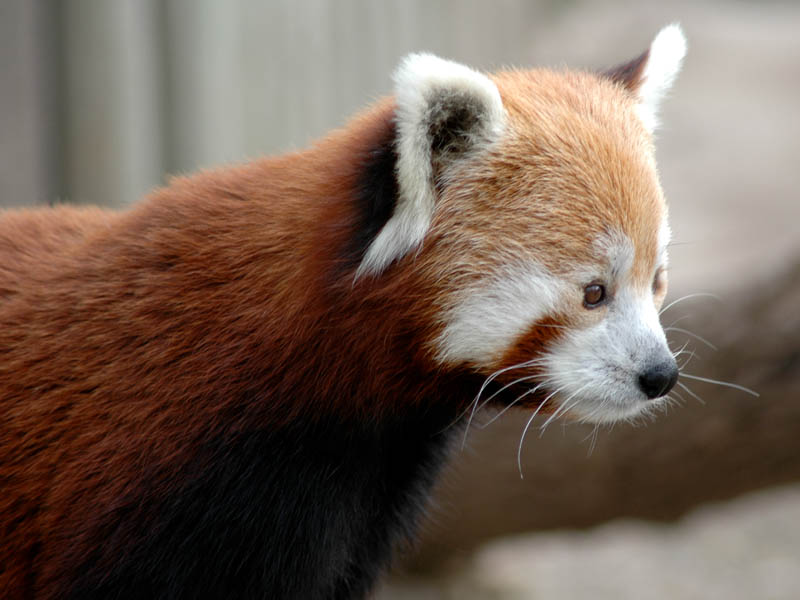The Red Pandas were a family favorite.