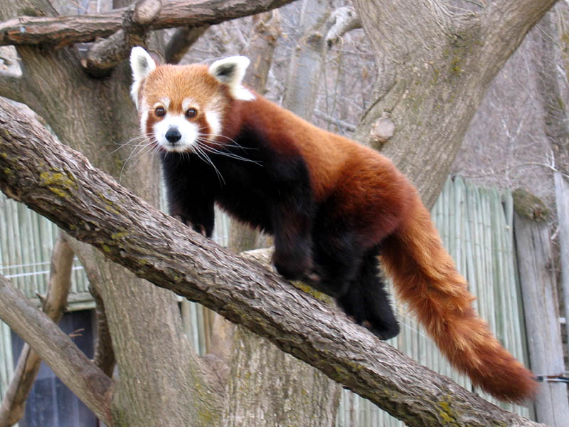 Red Panda, photo by Beth