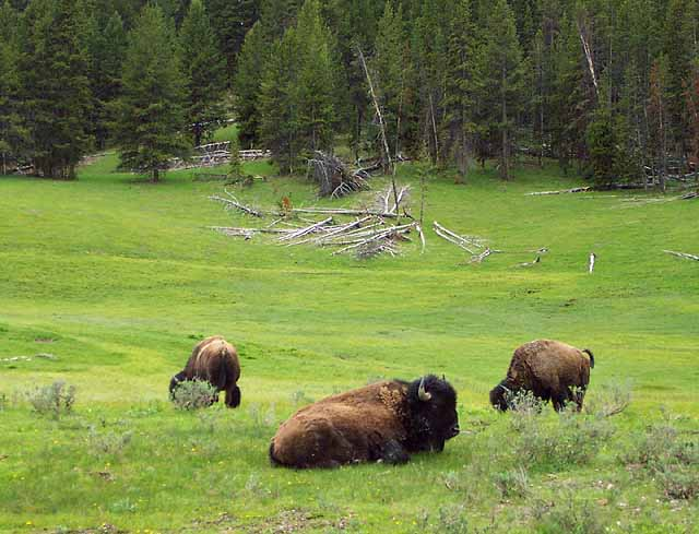 Bison bison weighs 700-2200 pounds.  Beefalo are 3/8 bison and 5/8 domestic cattle and are not shown here.